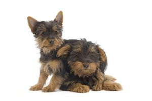 LA-7130 Dog - Australian Silky Terrier - puppy in studio.