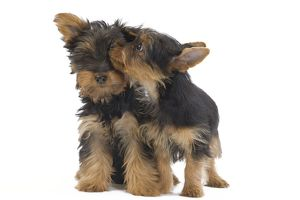LA-7131 Dog - Australian Silky Terrier - puppies in studio.