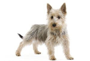 LA-7134 Dog - Australian Silky Terrier - puppy in studio.