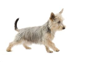 LA-7135 Dog - Australian Silky Terrier - puppy in studio.