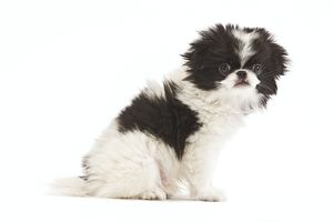 LA-7137 Dog - Japanese Chin / Spaniel - puppy in studio