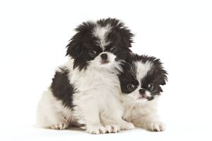 LA-7138 Dog - Japanese Chin / Spaniel - puppies in studio