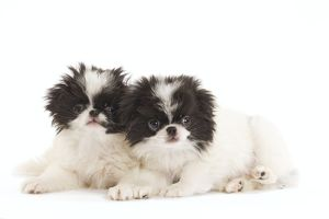 LA-7139 Dog - Japanese Chin / Spaniel - puppies in studio