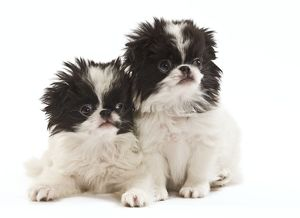 LA-7140 Dog - Japanese Chin / Spaniel - puppies in studio