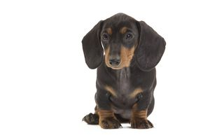 LA-7144 Smooth-haired Dachshund / Teckel - puppy in studio