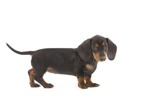 LA-7145 Smooth-haired Dachshund / Teckel - puppy in studio