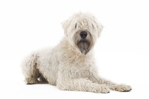 LA-7155 Dog - Irish soft coated wheaten terrier - in studio