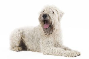 LA-7156 Dog - Irish soft coated wheaten terrier - in studio