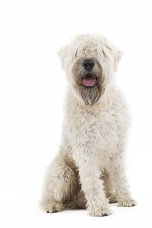 LA-7157 Dog - Irish soft coated wheaten terrier - in studio