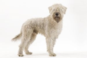 LA-7158 Dog - Irish soft coated wheaten terrier - in studio