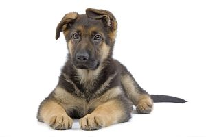 LA-7195 Dog - German Shepherd - puppy