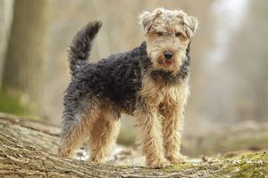 LA-7202 Dog - Welsh Terrier
