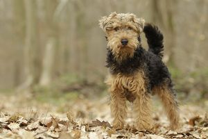 LA-7203 Dog - Welsh Terrier