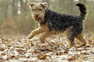 LA-7204 Dog - Welsh Terrier