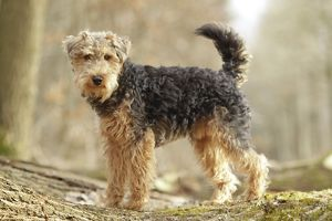 LA-7205 Dog - Welsh Terrier