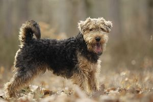 LA-7206 Dog - Welsh Terrier