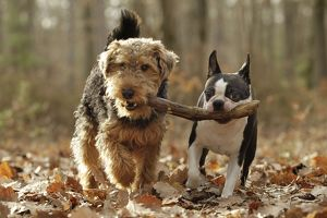 LA-7207 Dog - Welsh Terrier & Boston Terrier