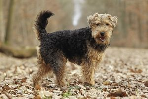 LA-7208 Dog - Welsh Terrier