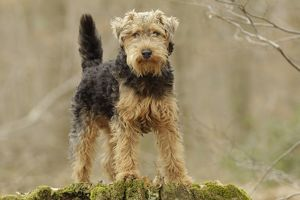 LA-7209 Dog - Welsh Terrier