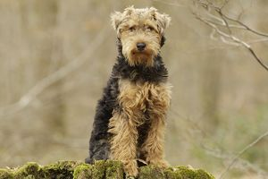 LA-7211 Dog - Welsh Terrier