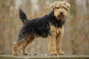LA-7213 Dog - Welsh Terrier