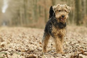 LA-7214 Dog - Welsh Terrier