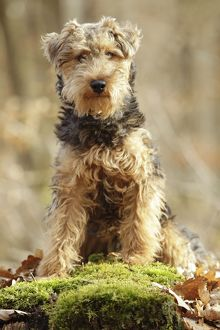 LA-7215 Dog - Welsh Terrier
