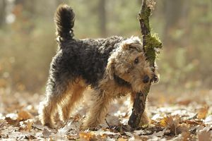 LA-7216 Dog - Welsh Terrier with stick