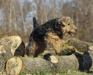 LA-7217 Dog - Welsh Terrier jumping over log