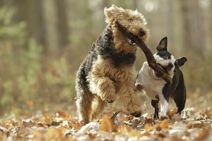LA-7219 Dog - Welsh Terrier & Boston Terrier