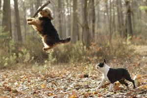 LA-7220 Dog - Welsh Terrier jumping to catch stick & Boston Terrier
