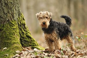 LA-7221 Dog - Welsh Terrier
