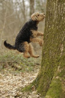 LA-7222 Dog - Welsh Terrier jumping up tree