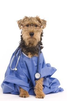 LA-7223 Dog - Welsh Terrier dressed up in Doctors outfit with stethoscope