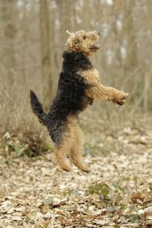 LA-7224 Dog - Welsh Terrier jumping