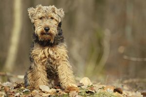 LA-7225 Dog - Welsh Terrier