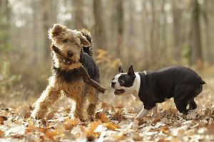 LA-7227 Dog - Welsh Terrier with Boston Terrier playing with stick