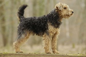 LA-7228 Dog - Welsh Terrier