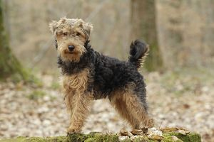 LA-7230 Dog - Welsh Terrier