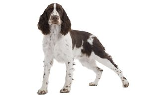 LA-7321 Dog - English Springer Spaniel in studio