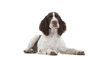 LA-7324 Dog - English Springer Spaniel in studio