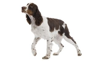 LA-7325 Dog - English Springer Spaniel in studio