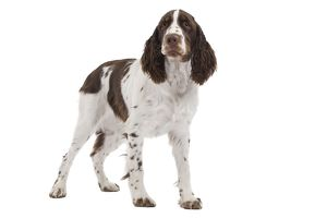 LA-7326 Dog - English Springer Spaniel in studio