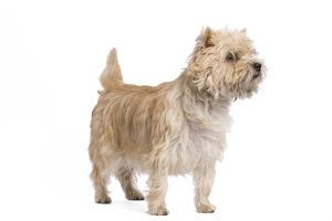 LA-7327 Dog - Cairn Terrier