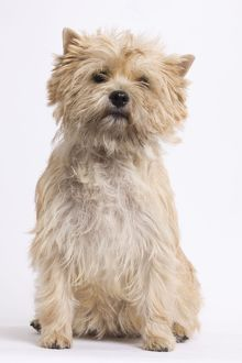 LA-7328 Dog - Cairn Terrier in studio