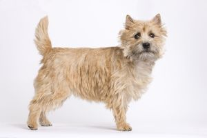 LA-7329 Dog - Cairn Terrier in studio