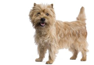 LA-7330 Dog - Cairn Terrier in studio
