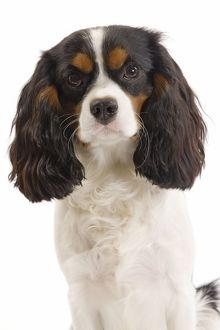 LA-7342 Dog - Cavalier King Charles Spaniel in studio