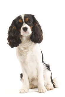 LA-7343 Dog - Cavalier King Charles Spaniel in studio