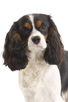 LA-7344 Dog - Cavalier King Charles Spaniel in studio